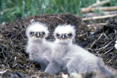 Bald eagle nestlings